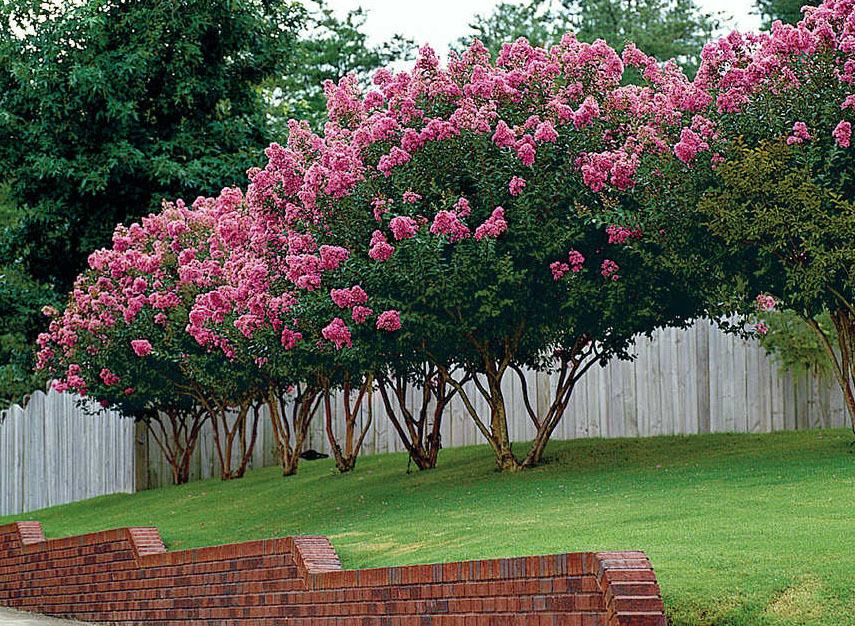How To Properly Care For Crape Myrtle's